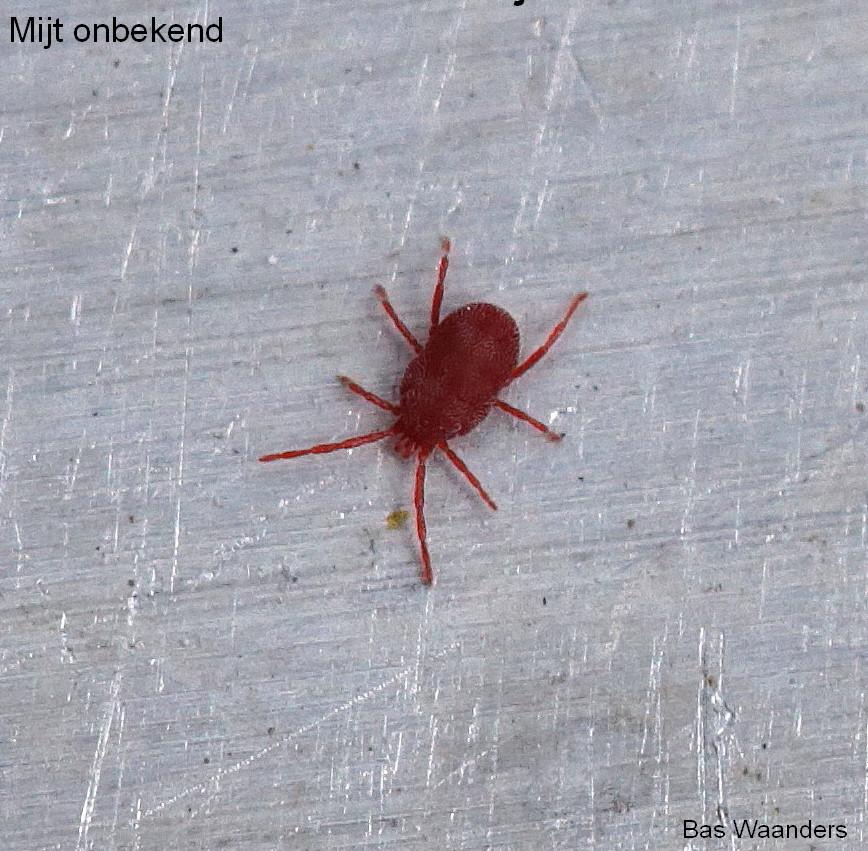 Trombidiidae indet. 3
