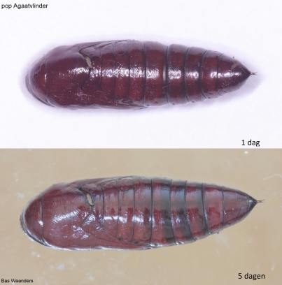 Phlogophora meticulosa _pop