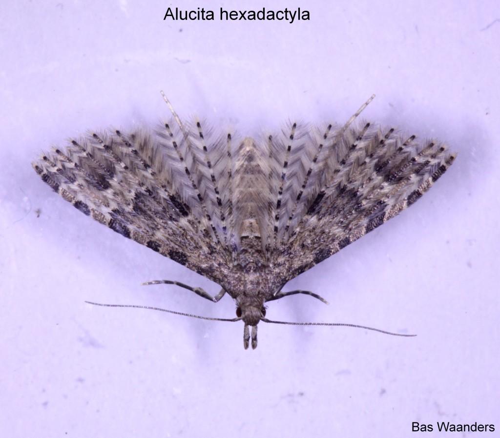 Alucita hexadactyla