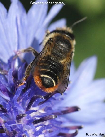 Megachile versicolor 2