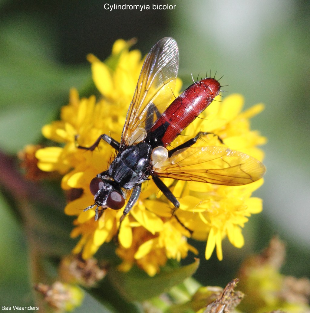 Cylindromyia bicolor 2