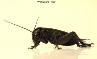 gryllus campestris nimf2