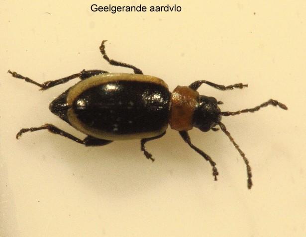 Longitarsus dorsalis_geelgerande aardvlo2