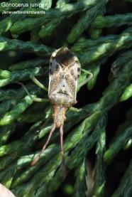 Gonocerus juniperi