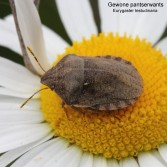 Eurygaster testudinaria 2
