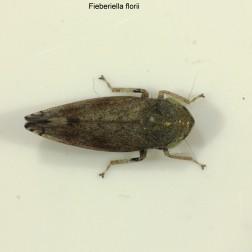 Fieberiella florii 3