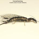 Inocellia crassicornis